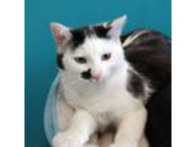 Adopt Randy a Domestic Short Hair
