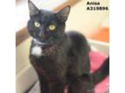 Adopt ANISA a All Black Domestic Shorthair / Mixed (short coat) cat in Conroe