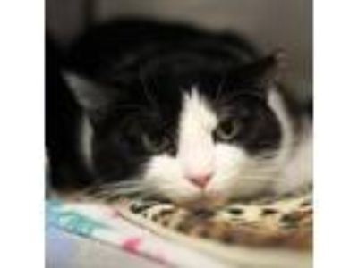 Adopt Wendy a Domestic Short Hair, Tuxedo