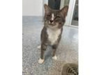 Adopt Elsie a Domestic Short Hair