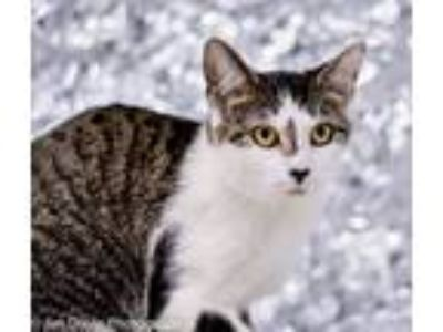 Adopt Willow a Tiger Striped Domestic Shorthair (short coat) cat in Martinsburg