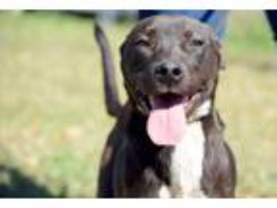 Adopt Phife Dawg a Black - with White Pit Bull Terrier / Mixed dog in Brooklyn