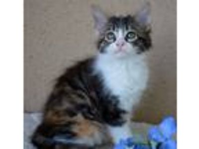 Adopt Honey - FEMALE a Domestic Mediumhair cat in Somers, CT (25585864)