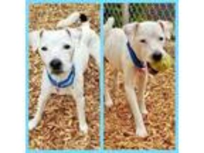 Adopt JACK JACK a Parson Russell Terrier