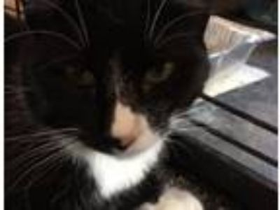 Adopt Bandit a Domestic Short Hair