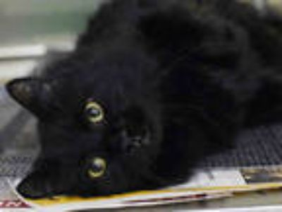 Adopt PERSI a All Black Domestic Mediumhair / Mixed (medium coat) cat in