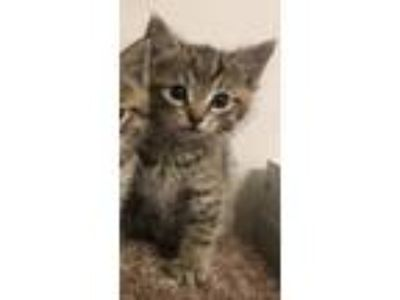 Adopt Han a Spotted Tabby/Leopard Spotted Maine Coon (medium coat) cat in Grand