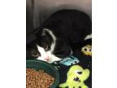 Adopt Thomas a Domestic Shorthair / Mixed (short coat) cat in Fall River