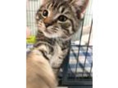Adopt Carpet a Domestic Short Hair, Tiger