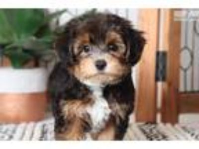 Lilly Pretty Little Female Yorkie-Poo Puppy