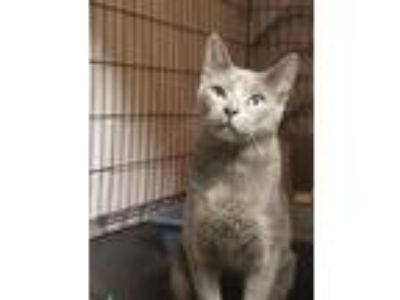 Adopt Scooter a Russian Blue, Domestic Short Hair