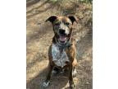 Adopt Sampson a Brindle Plott Hound / Terrier (Unknown Type
