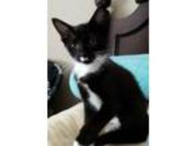 Adopt Catarina Kitten a Domestic Shorthair / Mixed (short coat) cat in