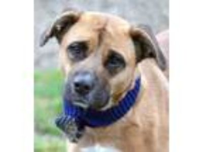 Adopt Hera a Brown/Chocolate Boxer / Mixed dog in Louisville, KY (24872424)