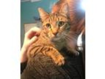 Adopt Tiger- (bonded with Nyla) a Domestic Shorthair / Mixed (short coat) cat in