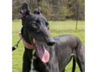 Adopt GS Mandrella (Mandy) a Greyhound