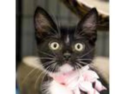 Adopt Paprika a All Black Domestic Shorthair / Domestic Shorthair / Mixed cat in