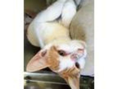 Adopt Buttercream a White Domestic Shorthair / Domestic Shorthair / Mixed cat in