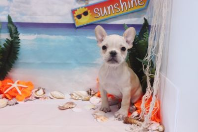 French Bulldog PUPPY FOR SALE ADN-89612 - French Bulldog  Dior  Female AKC