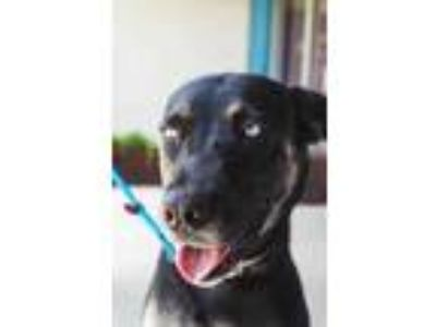 Adopt Anna a Black Shepherd (Unknown Type) / Husky / Mixed dog in Belle Chasse