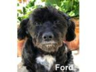 Adopt Ford a Black - with White Poodle (Miniature) dog in Lake Forest