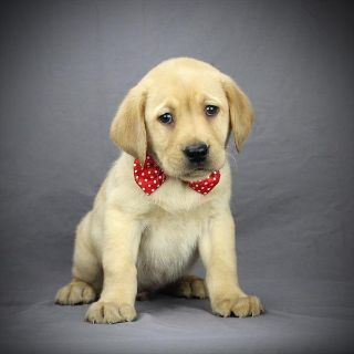 Labrador Retriever PUPPY FOR SALE ADN-100878 - Labrador retriever