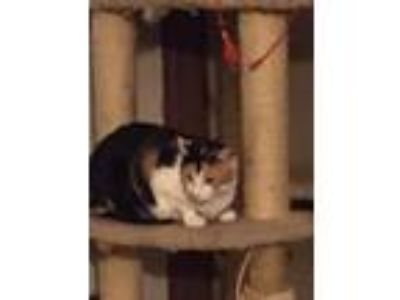 Adopt Emily a Domestic Shorthair / Mixed (short coat) cat in Valley Park
