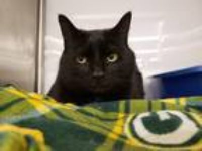 Adopt Cookie a Domestic Shorthair / Mixed (short coat) cat in Chaska