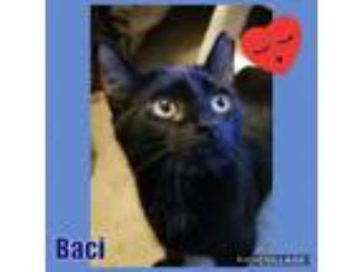 Adopt Baci a All Black Bombay (short coat) cat in Hicksville, NY (23536828)