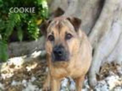 Adopt COOKIE a Shar-Pei, German Shepherd Dog