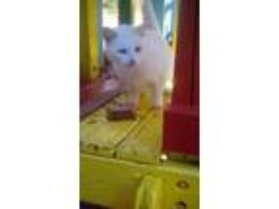 Adopt Snow White a White Domestic Shorthair / Mixed cat in Buford, GA (24295064)
