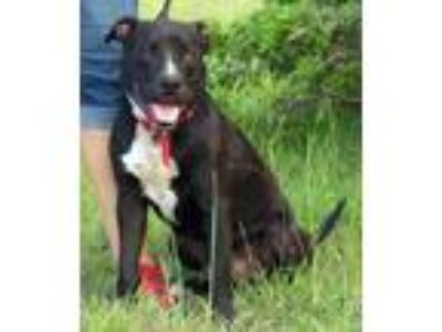 Adopt Simba a Pit Bull Terrier