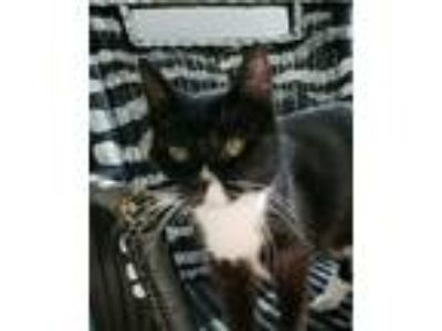 Adopt Bella a Black & White or Tuxedo Domestic Shorthair (short coat) cat in