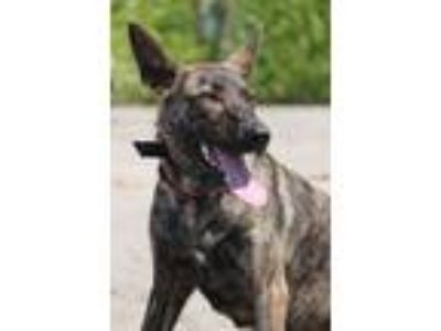Adopt Lieke a Dutch Shepherd