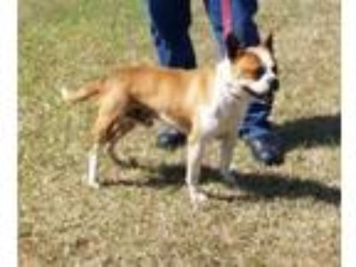 Adopt SPANKY a Brown/Chocolate Boxer / Mixed dog in Clinton, NC (25339704)