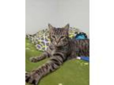 Adopt Dabble a Gray or Blue Domestic Shorthair / Domestic Shorthair / Mixed cat