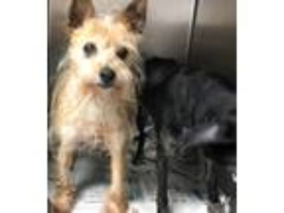 Adopt Jax and Julissa a Red/Golden/Orange/Chestnut Terrier (Unknown Type