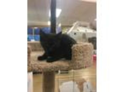 Adopt Looney a All Black Domestic Shorthair (short coat) cat in Kennesaw