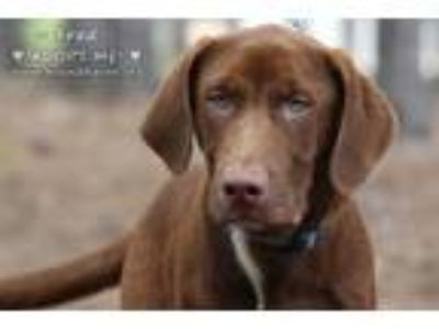 Adopt Fred a Brown/Chocolate Labrador Retriever / Mixed dog in Minneola