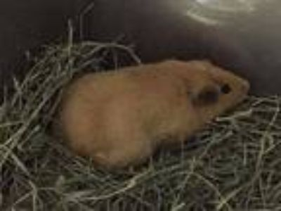 Adopt Peachy a Guinea Pig small animal in Scotts Valley, CA (25213635)