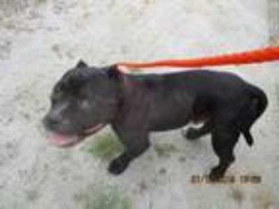 Adopt 42195258 a Black American Pit Bull Terrier / Mixed dog in Greenville