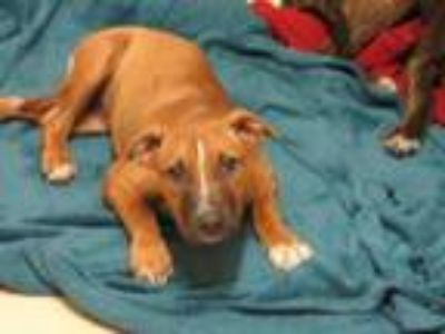 Adopt Liesel a Tan/Yellow/Fawn Boxer / Mixed dog in West Memphis, AR (25864075)