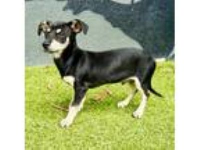 Adopt Ru Paul a Black Manchester Terrier dog in Culver City, CA (25587457)