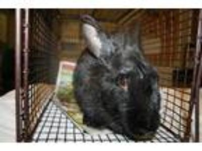 Adopt a Black Other/Unknown / Mixed rabbit in Modesto, CA (25073083)
