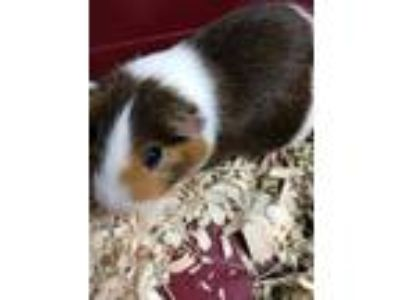 Adopt Awesome a Brown or Chocolate Guinea Pig / Guinea Pig / Mixed small animal