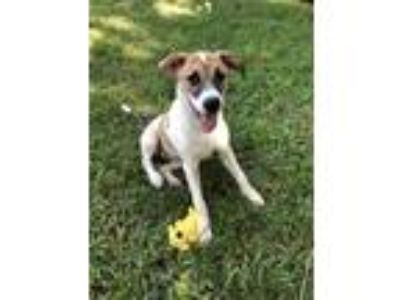 Adopt Stone a White - with Tan, Yellow or Fawn Anatolian Shepherd / Mixed dog in