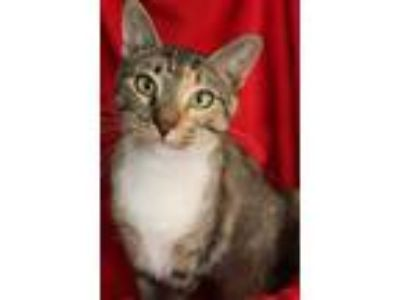Adopt Lala a Domestic Short Hair