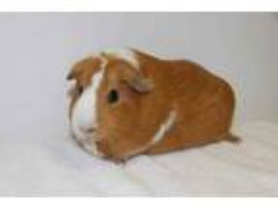 Adopt VELMA a Orange Guinea Pig / Mixed small animal in Hayward, CA (25353518)
