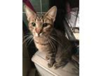 Adopt Applebee a Tiger Striped Domestic Shorthair (short coat) cat in Bedford