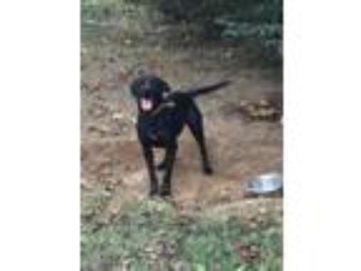 Adopt Diamond a Labrador Retriever